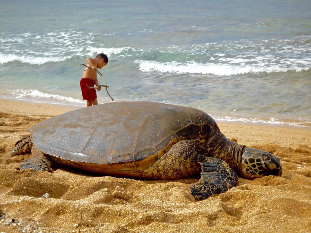 アリイビーチのウミガメ